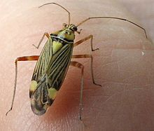 Calocoris.striatellus.dorsal.jpg