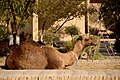 Camel on the street, Khiva, 2008.jpg