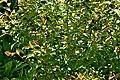 Camellia sasanqua 02.jpg