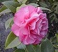 Camellia x williamsii 'Debbie'.jpg