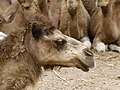 Camelus dromedarius - dromedary head - Dromedarkopf - dromadaire hure - Oasis Park - Fuerteventura - 01.jpg