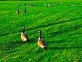 Canada Geese - panoramio (18).jpg