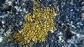 Candelariella coralliza 76065352.jpg