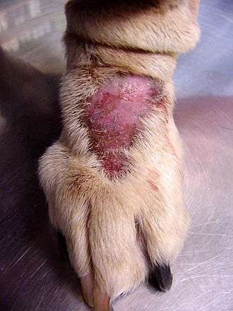 Animal psychopathology - Lick granuloma from excessive licking