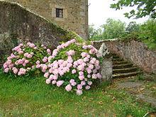 Hortensia wiktionnaire for Jardin wiktionnaire