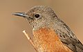 Cape Rock Thrush, Monticola rupestris, at Walter Sisulu National Botanical Garden, Gauteng, South Africa (29375780546).jpg
