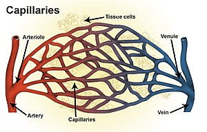 Arteriole - Types of blood vessels, including an arteriole and artery, as well as capillaries.