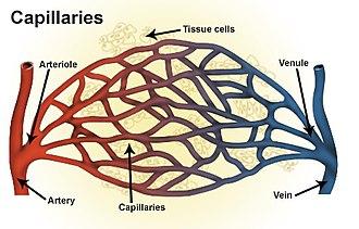 Venule - Types of blood vessels, including a venule, vein, and capillaries