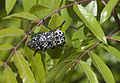 Capnodis cariosa - Pistachio Rootborer - Antep Fıstığı Kök Kurdu 03.jpg