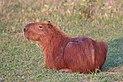 Capybara (Hydrochoerus hydrochaeris).JPG