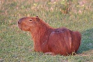Capybara - Image: Capybara (Hydrochoerus hydrochaeris)