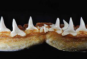 Sandbar shark - Lower teeth
