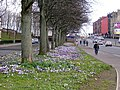 Cardonald Crocuses - geograph.org.uk - 138030.jpg