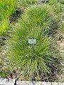 Carex appropinquata - Botanischer Garten München-Nymphenburg - DSC07842.JPG