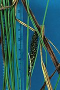 Carex striata USDA-ARS-1.jpg
