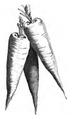 Carotte rouge longue de St-Valery Vilmorin-Andrieux 1883.png