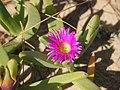 Carpobrotus glaucescens flower.jpg