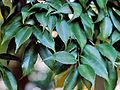 Castanopsis cuspidata.JPG