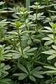 Catchweed Bedstraw (Galium aparine) - Kitchener, Ontario 01.jpg