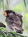 Cathartes burrovianus Guala sabanera Lesser Yellow-headed Vulture (6553726233).jpg