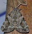 Catocala amica – Girlfriend Underwing Moth (James MdDermott ID) (14272942038).jpg