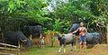 Cattle Rearing.jpg