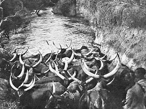 Ruanda-Urundi - Cattle in the Urundi, circa 1942