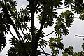 Cecropia obtusifolia 15zz.jpg
