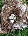 Cedar Waxwing nest and eggs (14723635678).jpg