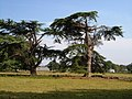 Cedars at Poltimore - geograph.org.uk - 238631.jpg