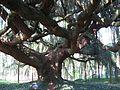 Cedrus libani ssp. atlantica 'Glauca Pendula' trunk 02 by Line1.jpg