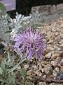 Centaurea niederi 06-17 El Funtionario (4).jpg