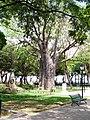 Centenário Baobá - panoramio.jpg
