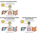 Central and peripheral circadian rhythms.jpg