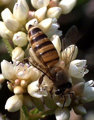 Apis cerana on flower