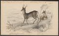 Cervus capreolus - 1838 - Print - Iconographia Zoologica - Special Collections University of Amsterdam - UBA01 IZ21500003.tif