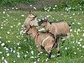 Chèvres naines du moulin de Carmenais 02.jpg