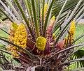 Chamaerops humilis male flowers, Christchurch Botanic Gardens, Canterbury, New Zealand 06.jpg