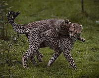 A cheetah cub playfully pouncing on another cub