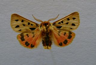 <i>Chelis maculosa</i> Species of moth