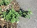 Chenopodium murale sl44.jpg
