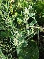 Chenopodium vulvaria sl77.jpg