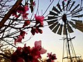 Cherry Blossoms with Windmill.jpg