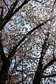 Cherry blossoms (6836835558).jpg