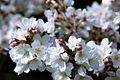 Cherry blossoms 0009 - 2012-03-15 (6848900772).jpg