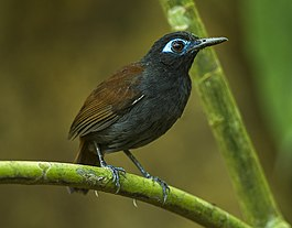Chestnut-backed Antbird - Sarapiqui - Costa Rica S4E9851 (26678050545).jpg