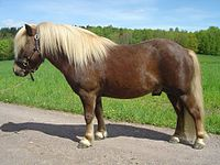 Chestnut pony with flaxen.jpg
