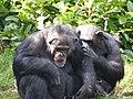 Chimps Grooming (2394016065).jpg
