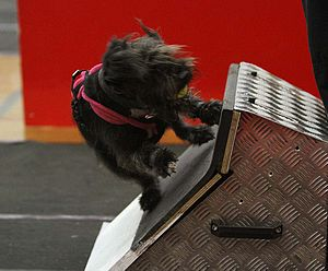 Flyball - A Patterdale Terrier 'height dog' turning on the box after catching the ball during a race.