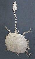 Chitra indica, skeleton.jpg